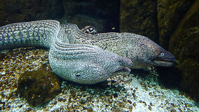 Underwater shot of two murenas Stock Images
