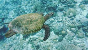 Young Hawksbill Sea Turtle. Underwater Shot Of A Young Endangered Hawksbill Sea Turtle Over A Coral Reef In The Maldives stock footage