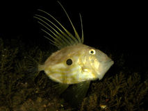 Underwater shot of Zeus Faber - John Dory or Peter's fish Royalty Free Stock Photos