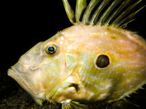 Underwater shot of Zeus Faber - John Dory or Peter`s fish Royalty Free Stock Image