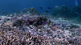 Underwater slope of reef in sea Schools color fish. Slope of the reef in blue sea and schools of colorful fish. beautiful underwater world Bali Indonesia and stock video
