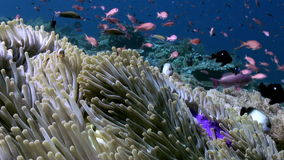 Underwater slope of reef in sea Schools color fish. Slope of the reef in blue sea and schools of colorful fish. beautiful underwater world Bali Indonesia and stock footage