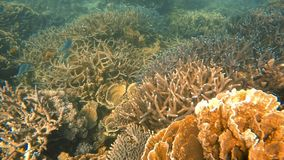 A tall foliose coral reef. An underwater slow motion moving shot of a foliose coral reef stock footage