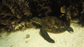Sea turtle near a coral reef. An underwater slow motion of a moving shot to a sea turtle that is beside a coral reef stock footage