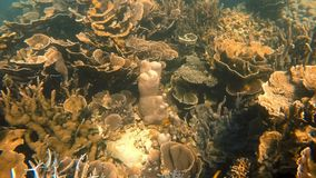 Lot of healthy coral reefs. An underwater slow motion moving shot under the sea where a lot of corals can be seen stock footage