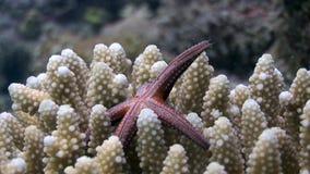 Underwater spinoso delle stelle di Mar Rosso di egyptiaca di Gomophia dell'Egitto video d archivio