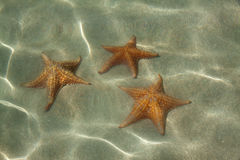 Underwater starfish, Caribbean sea. Underwater starfish, Oreaster reticulatus, over massive starlet coral in the Caribbean sea Stock Images