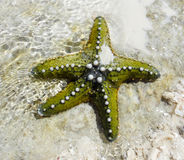Underwater starfish of Zanzibar. Green color Stock Images