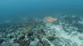 Tracking a medium sized white fish. An underwater tracking shot of a medium sized white fish. White sand ocean floor is covered with different sea plants stock footage