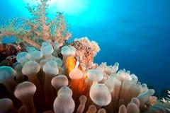 Underwater tropical reef scene. Underwater photo : tropical reef scene with anemone & clown-fish Royalty Free Stock Photos