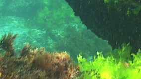 Underwater tropical sea theme with fishes and blue water. An underwater scene with fishes, green duckweed and clear water stock video