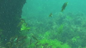 Underwater tropical sea theme with fishes and blue water. An underwater scene with fishes, green duckweed and clear water stock footage
