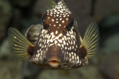 Underwater tropical Trunk Fish, Bonaire Royalty Free Stock Images