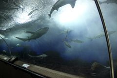 Underwater tunnel. Sharks and smaller fish in underwater tunnel, Singapore Stock Image