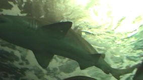 Underwater tunnel. Several sharks swimming over, view from pedestrian walkway underneath a shark filled aquarium stock video footage