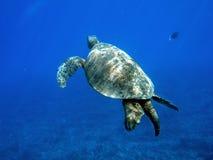 Underwater turtle. Underwater sea turtle in clear blue ocean Stock Photo