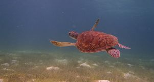 Underwater turtle. Stock Images