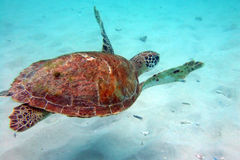 Underwater turtle Stock Photo