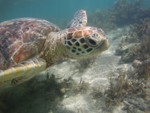 Underwater  Turtle Royalty Free Stock Images