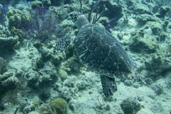 Underwater turtle swimming above the coral reef in the Caribbean stock image