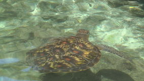 Underwater  Turtles. Two turtles swimming underwater shot from Top View stock video footage