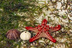 Undersea ocean wildlife, sea star fish and shell of sea urchin. Underwater undersea sea and ocean wildlife, seastar lying on a sea wheet and sand beach. Star stock image