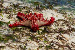 Undersea ocean wildlife, sea star fish. Underwater undersea sea and ocean wildlife, seastar lying on a sea wheet and sand beach. Star fish stock image