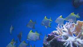 Underwater video of tropical fish stock video