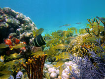 Underwater view in the caribbean sea. Underwater view with school of tropical fish, corals and gorgonian in the caribbean sea Stock Photos