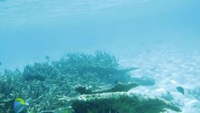 Underwater view of dead coral reefs and beautiful fishes. Snorkeling. Maldives, stock video