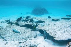 Underwater view of dead coral reefs and beautiful fishes. Snorkeling. royalty free stock photography