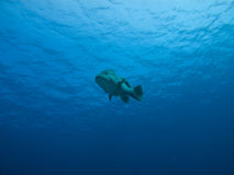 Underwater View of Giant Potato Cod, GB Reef AU Stock Photos