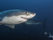 Underwater view of a great white shark Neptune Islands South Australia. Royalty Free Stock Photo