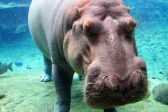 Underwater view of hippo Stock Images