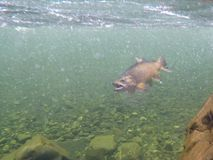 Underwater view of a hooked brown trout in a clear new zealand river. Being fought by a fly fisherman stock photo