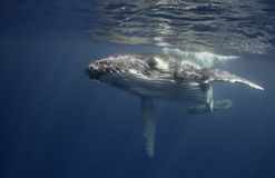 Underwater view of a humpback whale calf. stock images