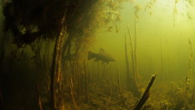 Underwater view of the lake. Underwater view of the pond with Tench fish Tinca tinca swimming around stock footage