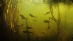 Underwater view of the lake. Underwater view of the pond with tiny fish fresh water perch stock video