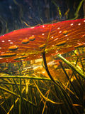 Underwater view of lily pad leaf ln flooded marsh Stock Photography