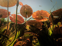 Underwater view of lily pads and colorfull marsh vegetation Stock Image