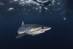 Underwater view of a mako shark swimming offshore from Western Cape South Africa Stock Photo