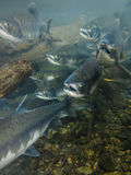 Underwater view mouth open heads of sockeye salmon spawning stock image