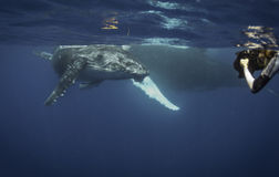Underwater View Of A Humpback Whale Calf As It Comes Up To Breath. Stock Image