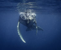 Underwater View Of A Humpback Whale Calf As It Comes Up To Breath. Stock Photos