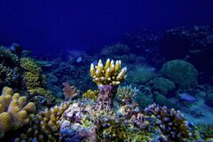 Free Underwater View Of Coral Reef And Small Fish With Blue Water Background, Great Barrier Reef, Australia Stock Images - 169450114