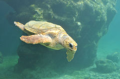 Underwater view of Sea Turtle in a Hospital in Reunion Island Royalty Free Stock Photography