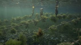 Underwater view of seaweed farm with pieces of weed tied onto lines and left to grow Royalty Free Stock Photography