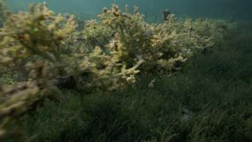 Underwater view of seaweed farm with pieces of weed tied onto lines and left to grow stock video footage