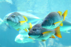 Underwater view of snappers Royalty Free Stock Image