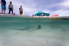Underwater view of sting ray swimming near dock as tourists watch from above. Ambergris Caye, Belize - December 2, 2013: Half submerged view of venomous sting Stock Images